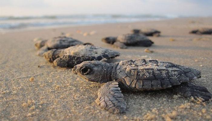 acandi tortues