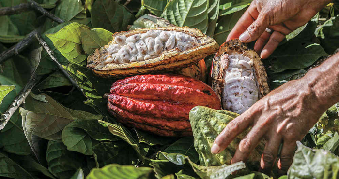 cacao colombie