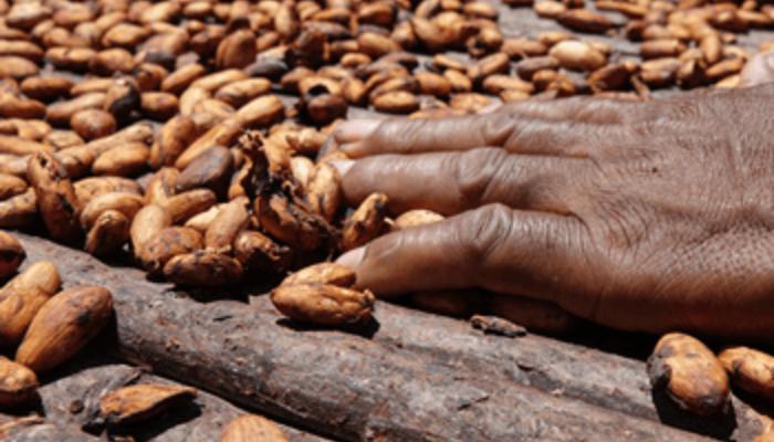 cacao arauca